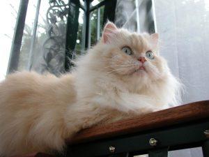 kucingparsi
